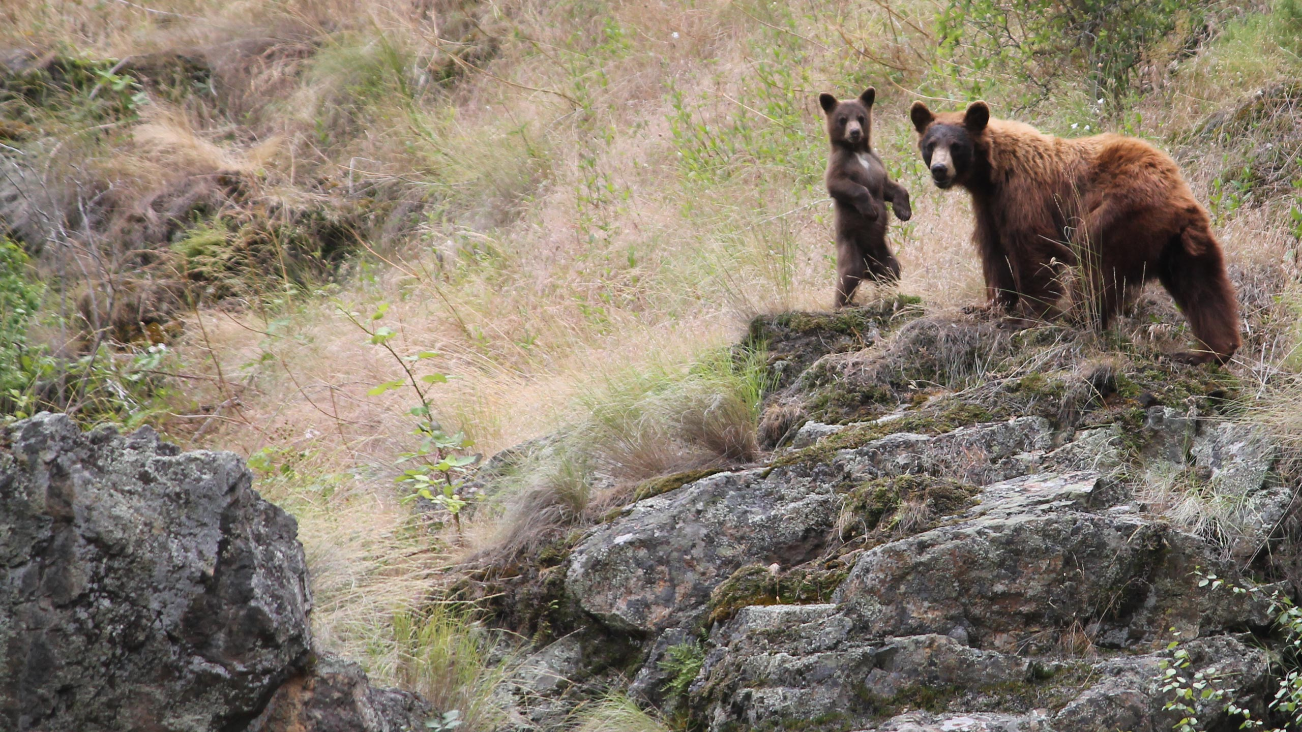 Bear Sow and her Cub on a Cliff